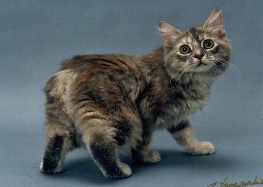 12 Najdziwniejszych Ras Kotów Na świecie Gadżetomaniapl
